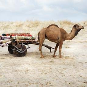 Arhaus furniture photography of camel pulling rugs
